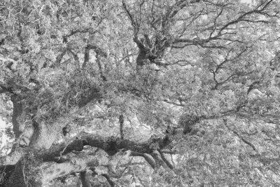 Quercus Caos © 2020 franMoreno